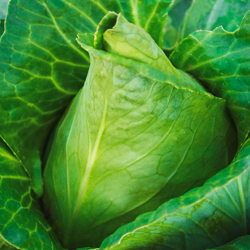 Sweetheart Lettage Cabbage