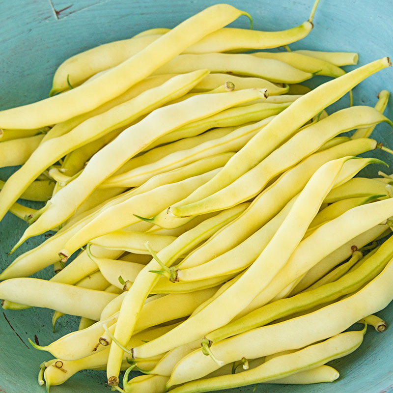 Improved Golden Wax Bush Bean