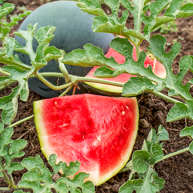 hybrid watermelon A hybrid vegetable is created when plant breeders intentionally cross-pollinate two different varieties of a plant, aiming to produce an offspring, or hybrid, that contains the best traits of each of the parents.