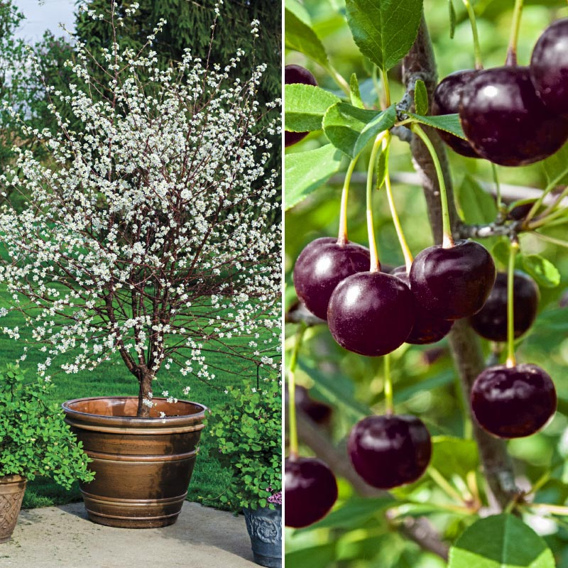 Juliet dwarf cherry gardens alive for Cherry trees for sale