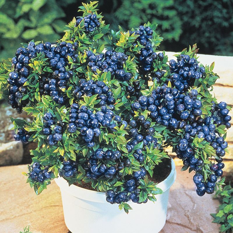 Top Hat Dwarf Blueberry Plant Reviews Shapeyourminds Com