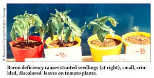 Boron Deficiency in Seedlings