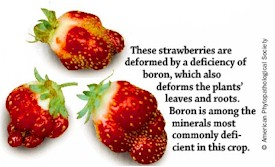 Boron Deficiency in Strawberries