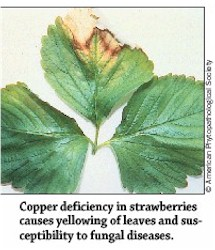 Copper Deficiency in Strawberries