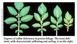 Sulphur deficiency in Potato Plants