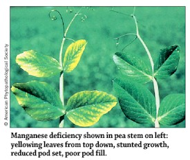 Manganese deficiency in Peas