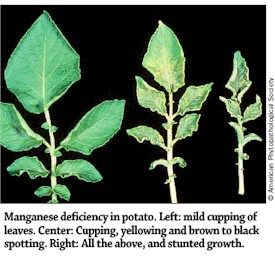 Manganese Deficiency in Potato Plants
