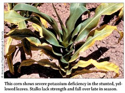 Potassium Deficiency in Corns