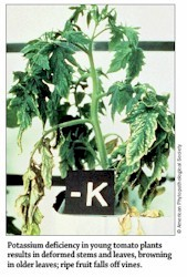 Potassium Deficiency in Tomato Plants