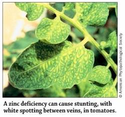 Guide to nutrient deficiencies in your vegetable garden for Soil zinc deficiency