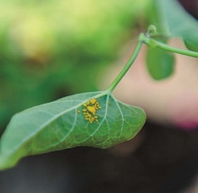 Aphid Solutions
