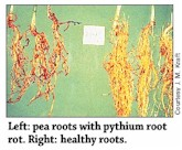 Pythium Root Rot (Damping-off,Seed Rot) Peas
