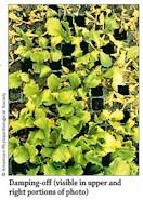 Damping-Off (Lettuce)