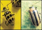 Cucumber Beetle Solutions