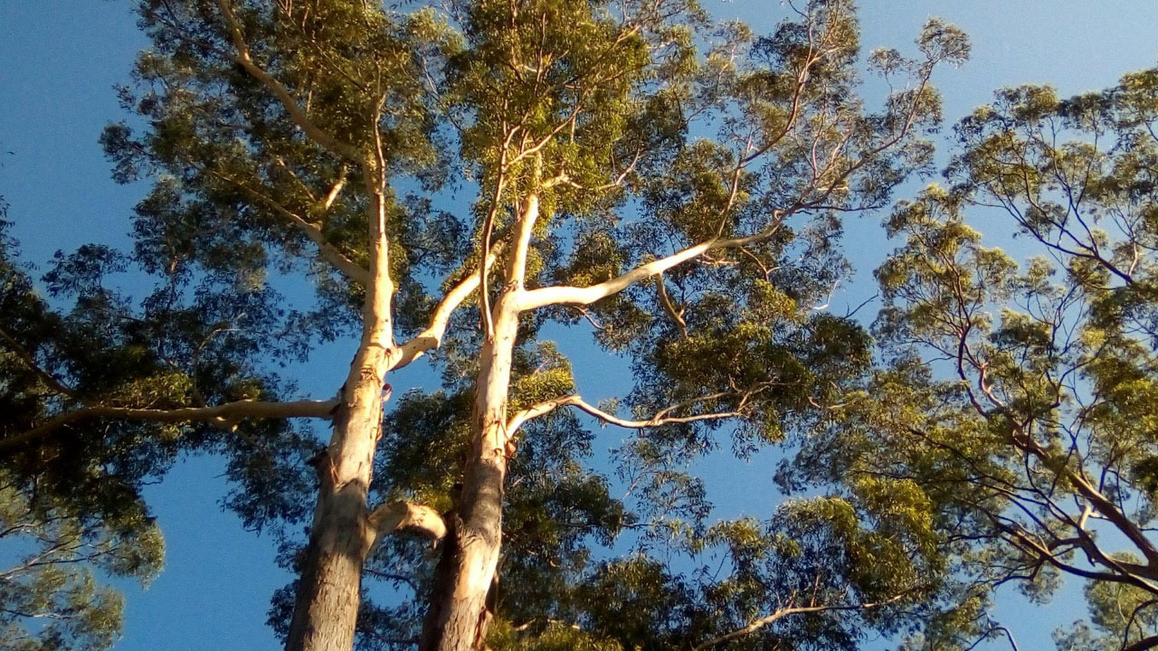 Eucalyptuscompost3