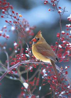 Cardinal Berry