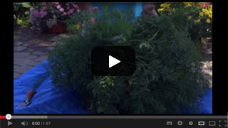 Growing Carrots in Grow Tubs