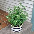 Sweet Leaf Stevia Candy Plant