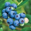 Jubilee Southern Highbush Blueberry