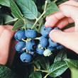 Dwarf Northblue Half-High Blueberry Plant