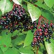 Samdal & Samyl Elderberry Plant
