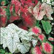 Mixed Caladium Plants