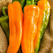Orange Kiss Hybrid Sweet Pepper