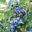 O'Neal Southern Highbush Blueberry Plant