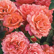 Easy Does It<sup>®</sup> Floribunda Rose Plant