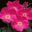 Pink Home Run<sup>®</sup> Shrub Rose
