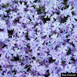 Blue Emerald Creeping Phlox Plant