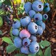 Titan Rabbiteye Hybrid Blueberry Plant