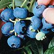 Powderblue Rabbiteye Hybrid Blueberry Plant