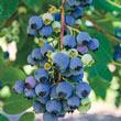 Ochlockonee Rabbiteye Hybrid Blueberry Plant