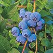 Biloxi Southern Highbush Blueberry Plant