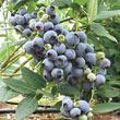 Camellia Southern Highbush Hybrid Blueberry Plant
