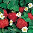 Festival (Everbearer) Strawberry