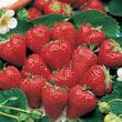 Surecrop Junebearing Strawberry Plant