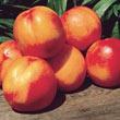 Mericrest Nectarine Tree