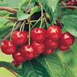 Montmorency Pie Cherry Tree