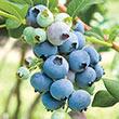 Bluecrop Northern Highbush BlueberryHedge
