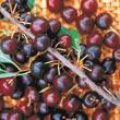 Hansen's Bush Cherry Tree