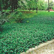 Purple Wintercreeper Plant