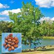 Hardy Pecan Tree