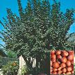 Hazelnut Tree