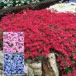 Pink Emerald Creeping Phlox Plant