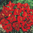 Little Business Daylily Plant