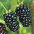 Prime-Ark<sup>®</sup> Freedom Thornless Blackberry Plant