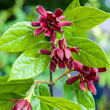 Carolina Allspice Plant
