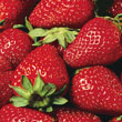 Eversweet Everbearing Strawberry Plant